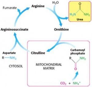 AlphaNation-Citrulline Cycle